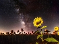 Girasoles y Via Lactea