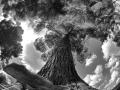 Pinus_